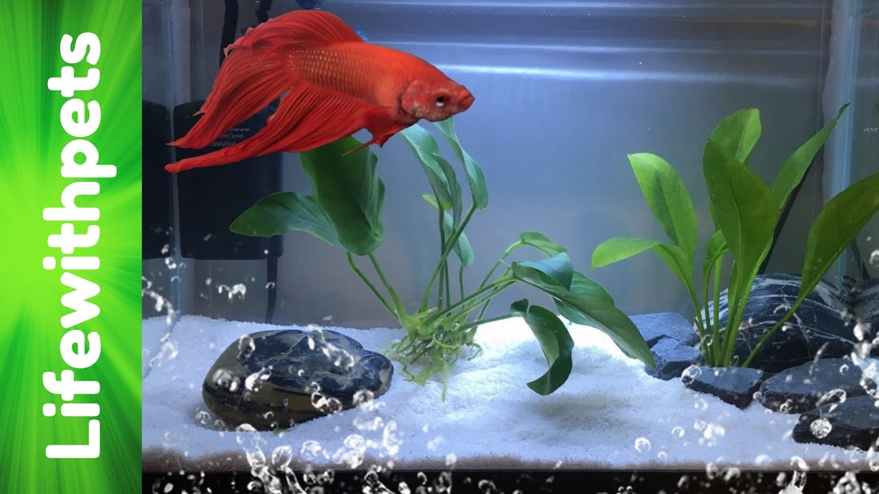 How to set up a betta fish tank basic planted betta tank for Easy aquarium fish