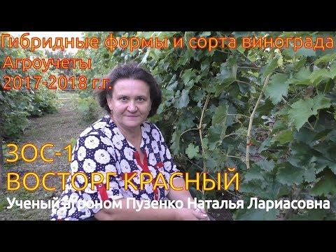 Восторг красный - виноград  на участке Пузенко Натальи Лариасовны