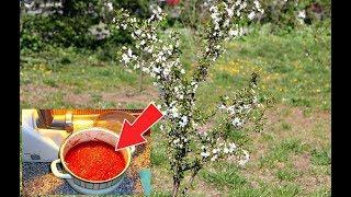 Облейте этим народным средством вишню от всех вредителей весной в апреле и мае!