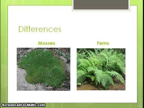 one similarity and one difference between mosses and ferns youtube