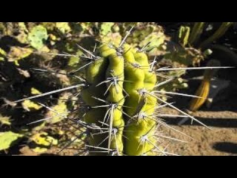 San Pedro the legendary Cactus of Vision | 2017