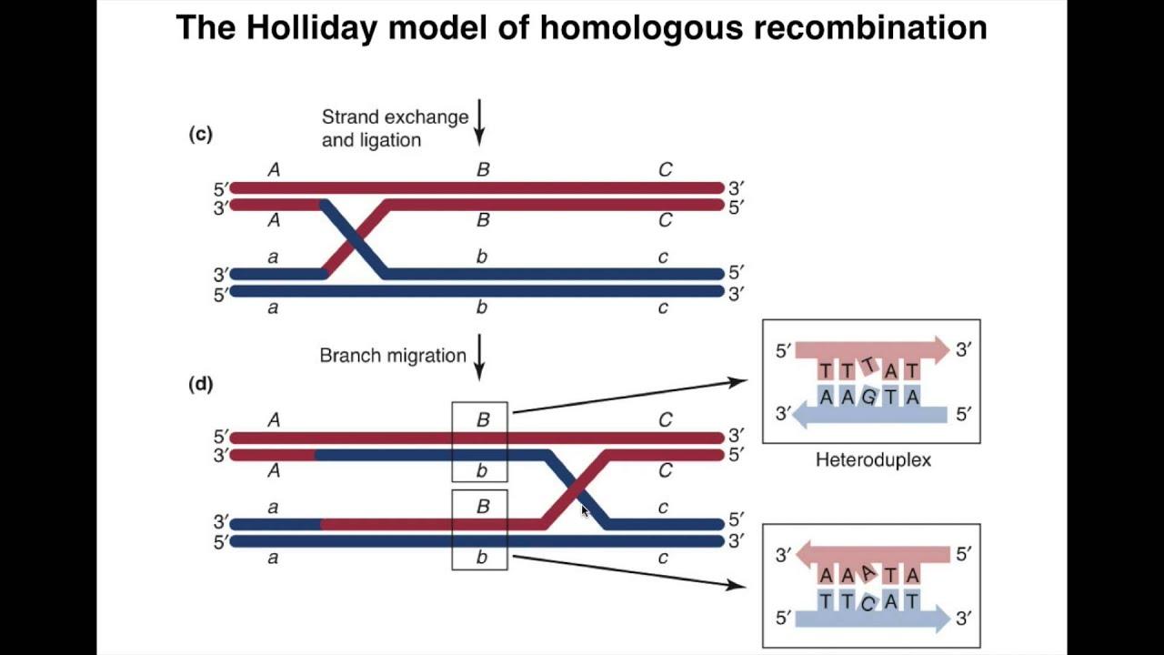 Homologous recombination i youtube ccuart Images
