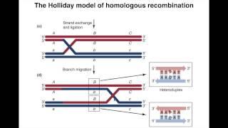 Homologous Recombination I