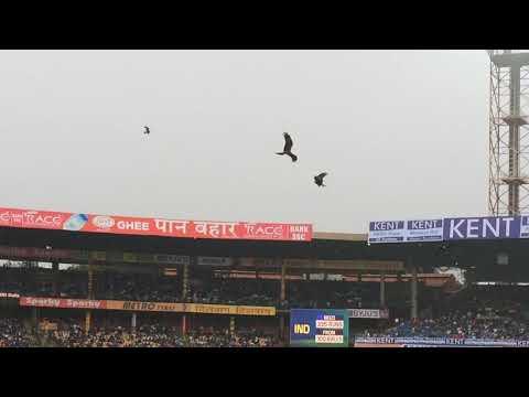 Black kites hunting at Chinnaswamy Stadium, Bangalore