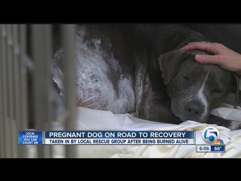 Pregnant dog burned alive, recovering at South Florida rescue group, Big Dog Ranch Rescue