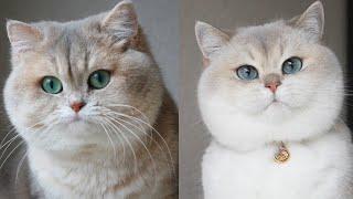 British Shorthair Cat Breed # 9