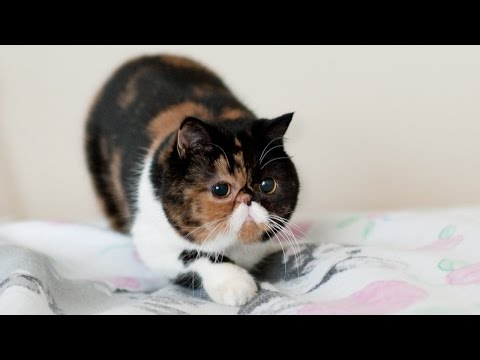 Funny Cat Attacks Bedsheets