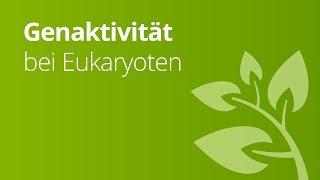 Eukaryoten: Regulation der Genaktivität | Biologie | Genetik