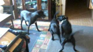 """2 Staffordshire Bull Terriers  Fight  American  Staffy  """" Bring It On """"just Plying."""