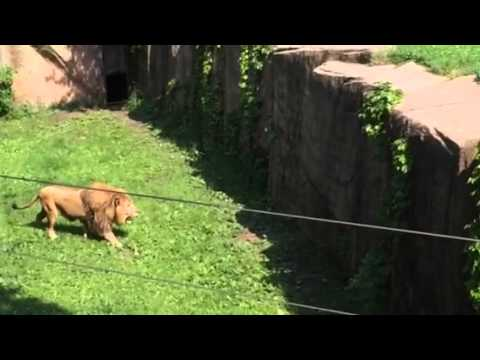Lincolnpark Zoo lion climbing moat 6/2015