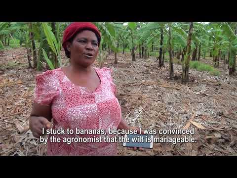 GMO banana: Overcoming bacterial wilt