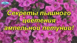 Секреты ПЫШНОГО цветения ампельной петунии и калибрахоа!