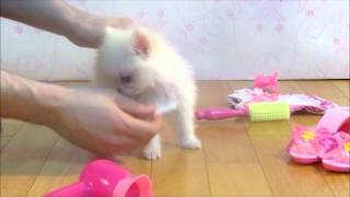 Teacups.co.uk | Teacup Puppies For Sale | Pomeranian | 2 Months Old