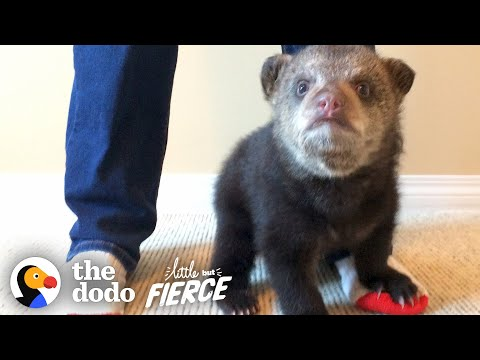 Abandoned Baby Black Bear Rescued and Falls In Love With His New Friend