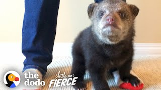 Rescued Baby Black Bear Slowly Falls In Love With His New Friend | The Dodo Little But Fierce