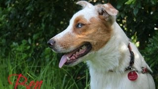 Ben, Koolie X - Has Been Adopted From Dog Rescue Newcastle