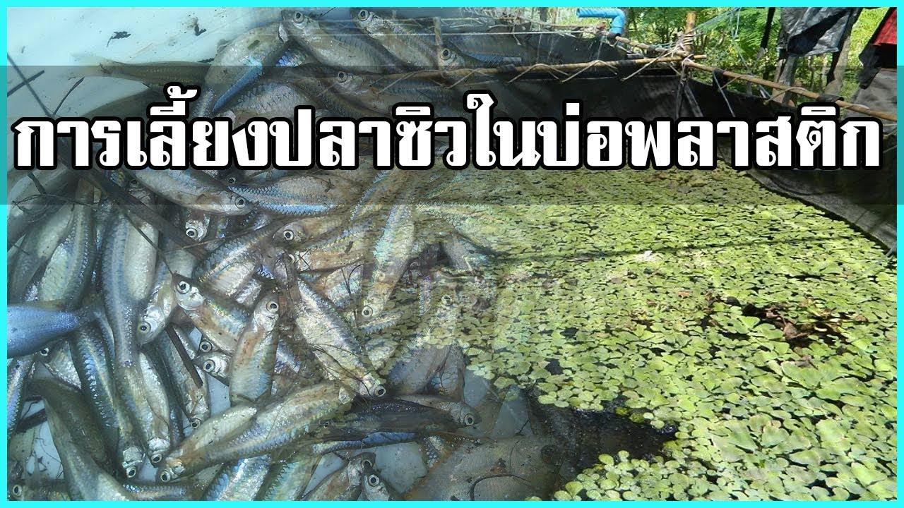 วิธีเลี้ยงปลาซิว ในบ่อพลาสติก เลี้ยงง่ายขายดี