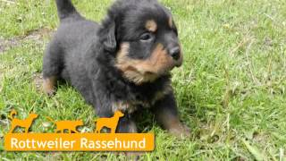 Rottweiler Welpen In Meiningen