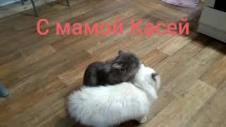 Сибирские котята 6 месяцев. Все 5 Касиных детей.