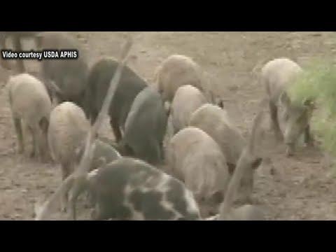 Feral swine: Oregon agriculture's non-native invaders