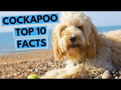 Cockapoo - TOP 10 Interesting Facts