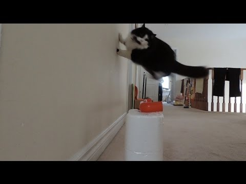 Cat Agility, Cashmere learning rebound !!! :D