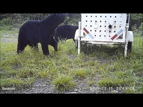 Bear Trap Accident