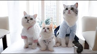 【花花与三猫】女主人七夕送礼,猫咪收到了古装,而男主人收到了女装
