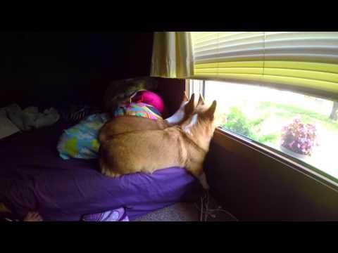 Watch Dog Corgi Trio