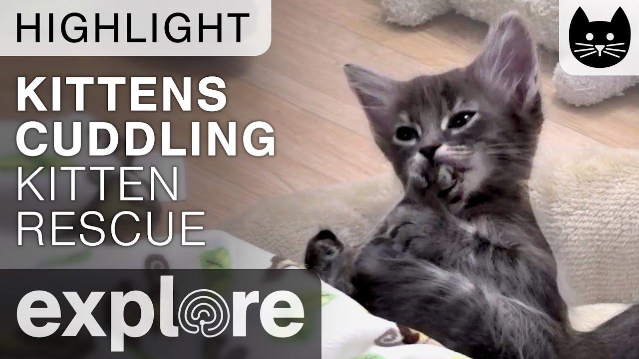 Kittens Cuddling cute Kitten Rescue Live Cam Highlight 11 08