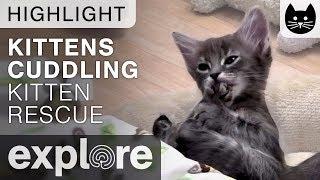 Kittens Cuddling (cute!) - Kitten Rescue Live Cam Highlight 11/08/17