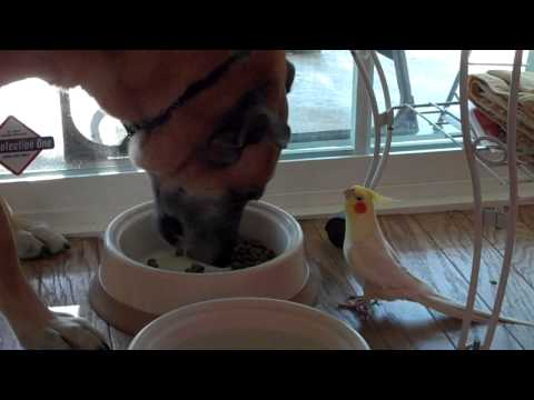 amazing bird talking to dog while he eats!