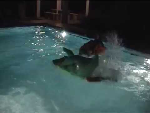 Shocking Video Footage Of Tourist Wrestling A Crocodile In Swimming Pool In Rhodes Greece