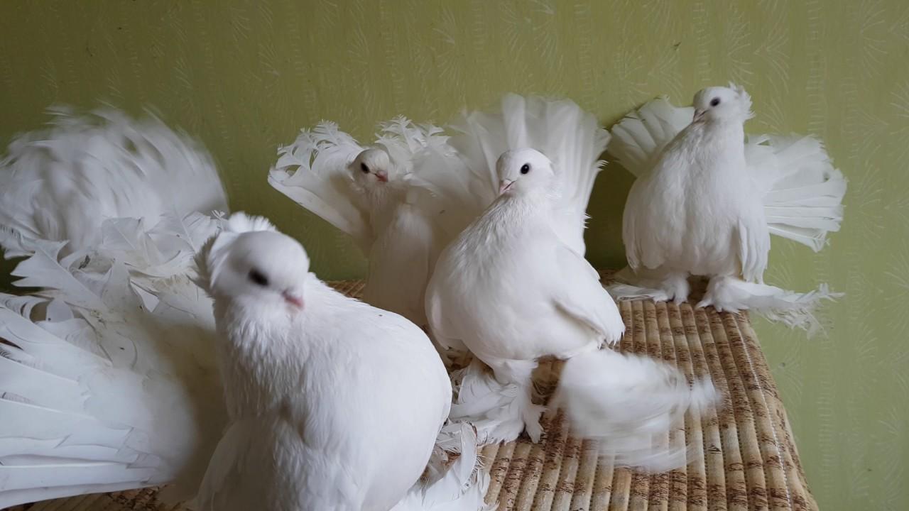 жена статные голуби урала фото шалевые протестить