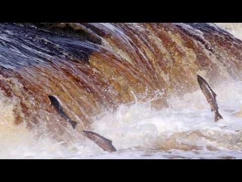 The Hexham Salmon Run