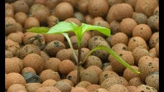How to Start a Hydroponic Pepper - Growing Indoors