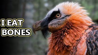 Bearded Vulture facts: birds with beards, what will we discover next? | Animal Fact Files