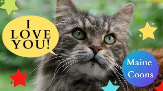 This Maine Coon Loves Owner Completely!