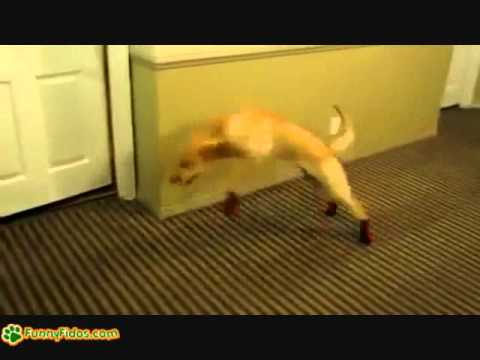 Funny dog running with shoes on