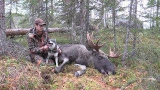 Охота на лося с лайками в Швеции 2019