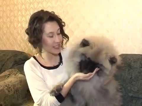 "Передача ""Домашний зоопарк"" про вольфшпицев (кеесхондов)"