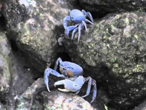 Giant Blue Land Crabs