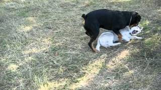 Husky Vs Rottweiler :)