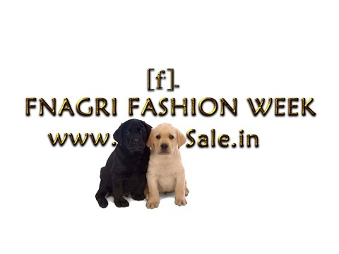 St Bernard Dog Sale in Ludhiana