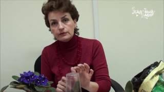 видео Как вырастить розу из срезанного цветка?