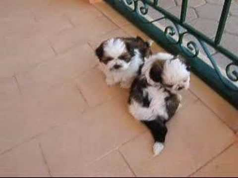 shih tzu puppies 8 weeks our little shih tzu pups 5 weeks old youtube 4226
