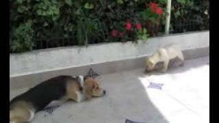 Beagle Vs Labrador Puppy Round 2
