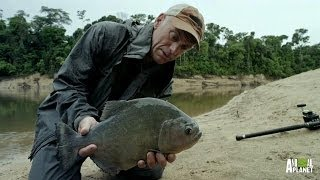 Black Piranha Flesh-Eaters Back for More | River Monsters