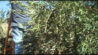 Rabbis for Human Rights- First day of the Palestinian Olive Harvest in Awarta, 2011