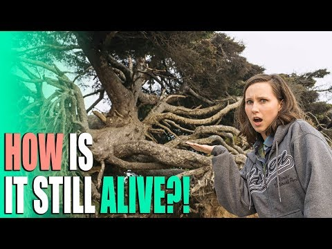 How is it Still Alive?! - Kalaloch Tree & Hoh Rainforest Hall of Mosses Trail